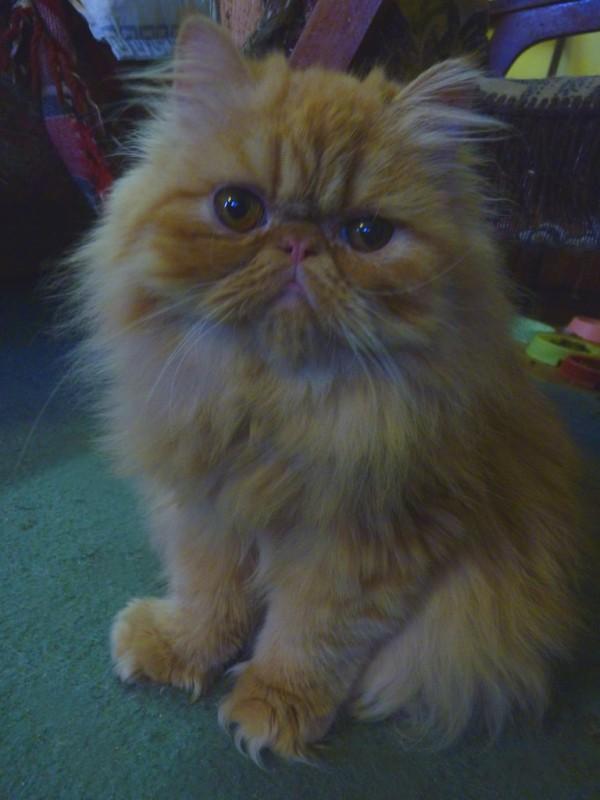 Шотландские котята как определить ушки фото челябинка танцует