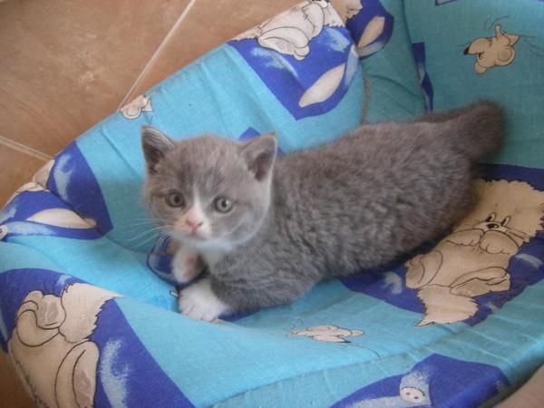 Бамбино котята - КОТЯТА ПРОШЛЫХ ПОМЕТОВ ВСЕХ ПОРОД ...
