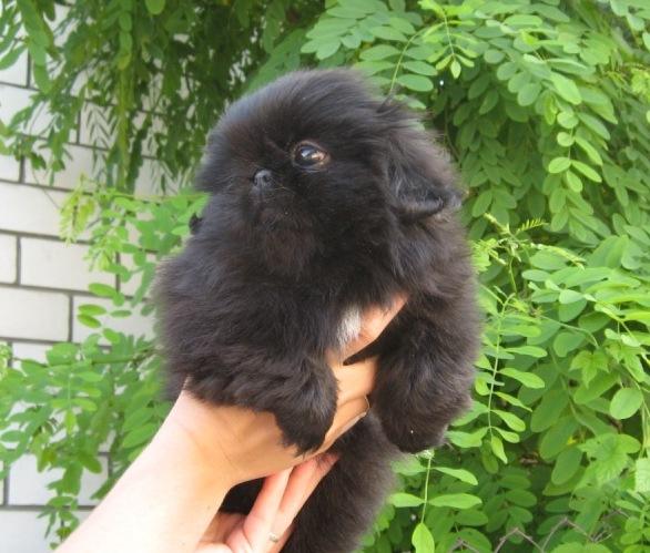 будете щенок пекинеса черного окраса фото сша