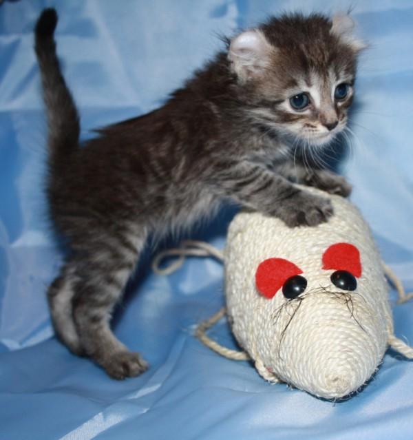 Американский керл котята фото