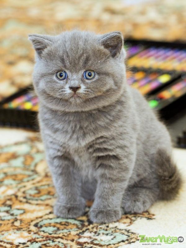 они британский короткошерстный котенок фото поиска