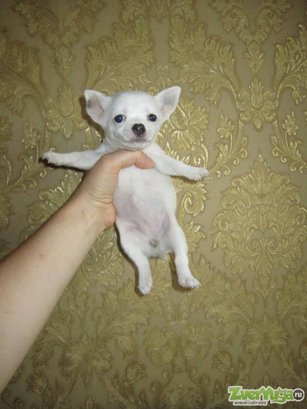 Пупочная грыжа у щенка чихуахуа