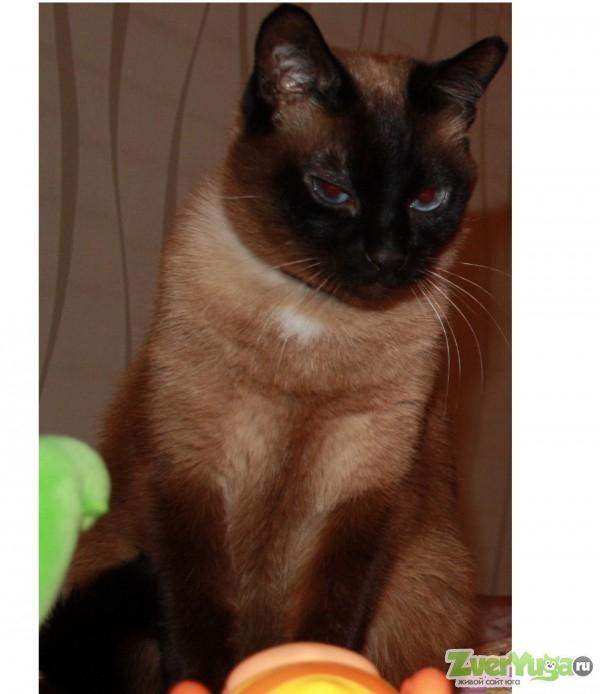 Сиамский кот найден