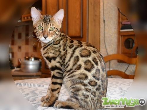 бенгальских котят фото