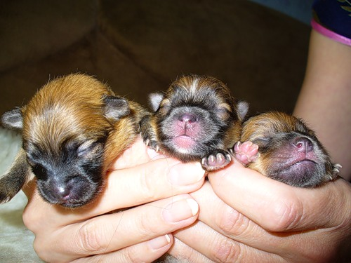 Новорожденные шпицы