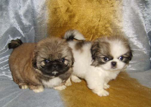 Продам щенков мини пекинеса - фото.