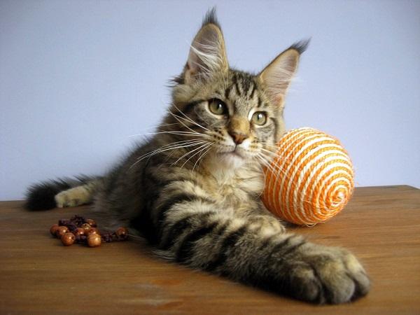 Котята мейн-кун из питомника nord-ost диких окрасов.