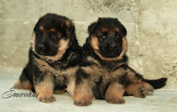 Южный блюз - Фотогалерея - Немецкие овчарки - Наши щенки.
