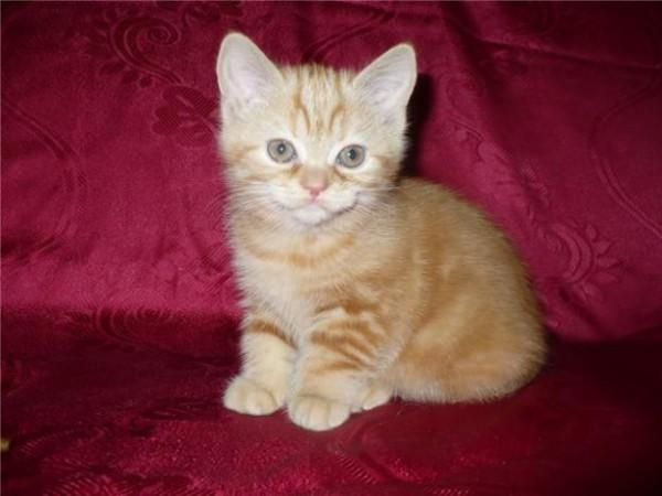 Британские красные мраморные и тигровые котята.