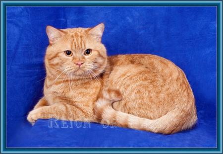 Бенгальские котята москва кошки и