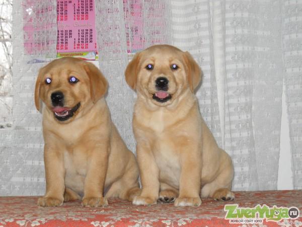 Продаем щенков лабрадора!! красивого палевого окраса от белого до рыжеватого, со всеми документами