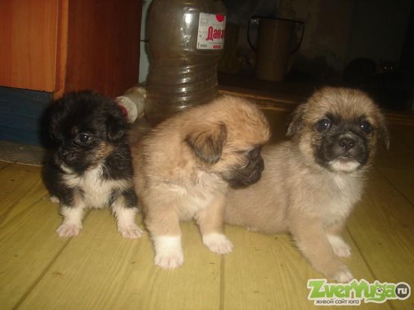 Продам щенков пекинеса(метис)