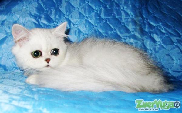 На вязку приглашают коты самого модного и необыкновенно красивого окраса - черный мрамор на серебре:1