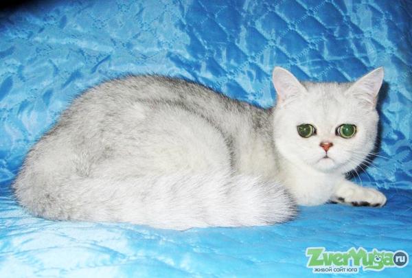 Вислоухие котята с отличным прилеганием ушек, есть документы о происхождении, состоят в клубе