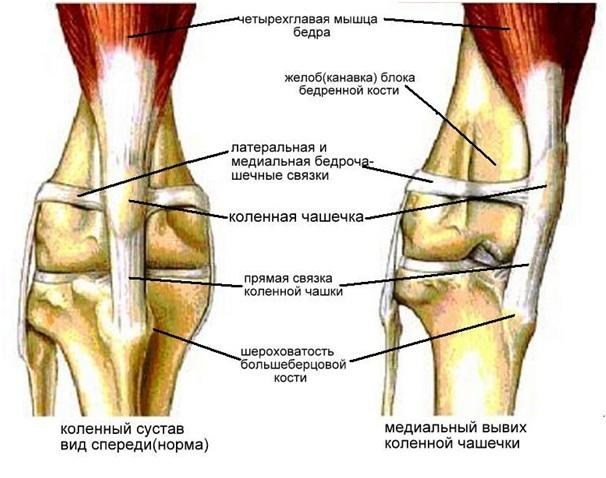 Строение коленного сустава и функция коленной чашечки (пателлы)