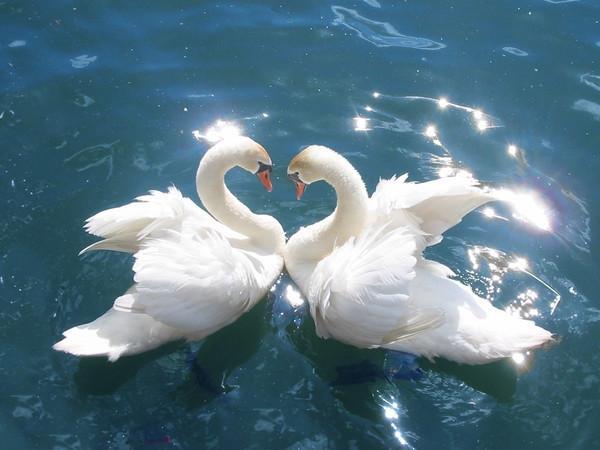 Скачать Картинки лебедей на свадьбу 4.