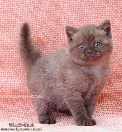 Тенденции развития пород и окрасов кошек.  Форум.  АРХИВ.